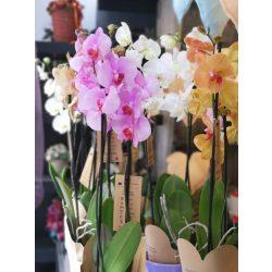 Nagy cserepes orchidea kaspóval