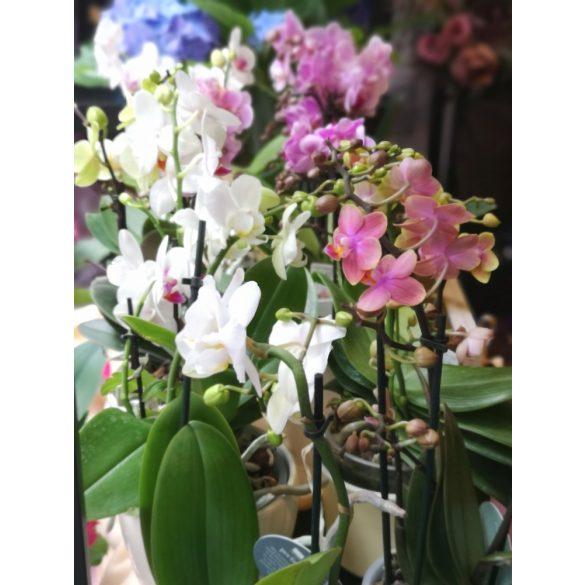 Közepes méretű cserepes orchidea